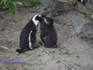 Jackass Penguin Feeding Baby/CopyrightHorsehints.org