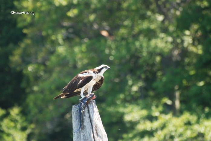 Image: CopyrightHorsseHints.org/Osprey with fish in talons.