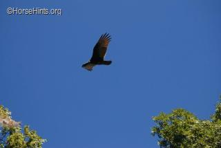 Image: CopyrightHorseHints.org/Turkey Vulture/Mason Neck State Park, VA