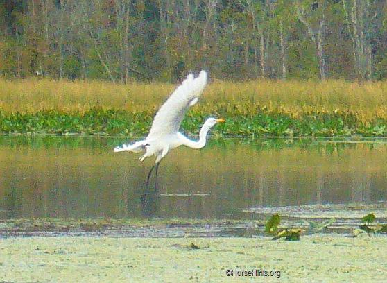 Image: CopyrightHorseHints.org/Flying egret/Pohick Bay