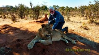 Image: CopyrightHorseHinats.org/Lion Encounter/Zimbabwe/Bill